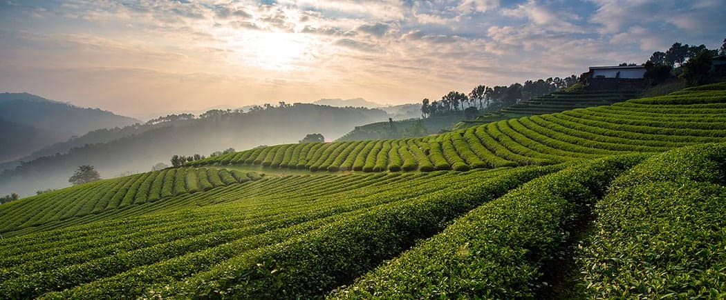 A beautiful tea farm in the morning sunrise at Doi Mae-Salong, Chiangrai province.