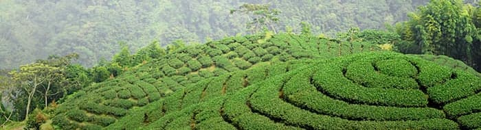 rolling hills of a healthy tea farm