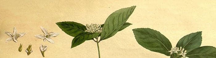 illustration of Camellia sinensis plant